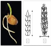 Effect of Temperature on Germination of Wheat Seed