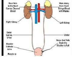 Urinary System and Normal Kidney Function