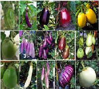 Research Essay on Eggplants and Crop History
