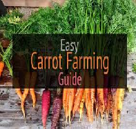 Growth of Radish and Carrots in Aquaponics and Soil
