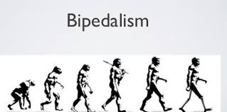 Bipedalism Research Paper