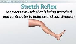 Importance of Study Reflexes and Clinical Applications